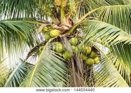 Many coconut on a coconut tree or palm tree.