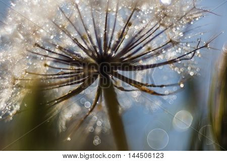 floral background dandelion closeup with drops of dew