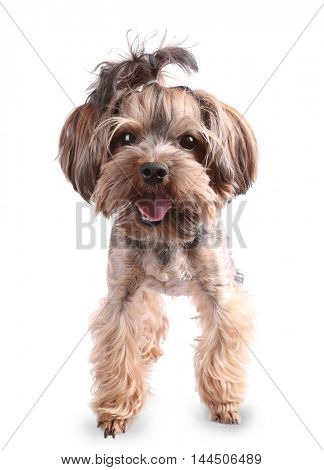 Little funny dog isolated on white