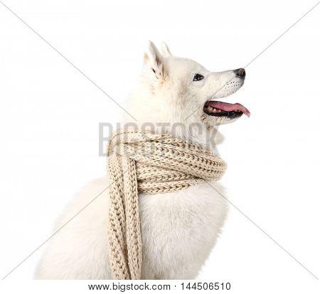 Fluffy samoyed dog wearing beige scarf isolated on white