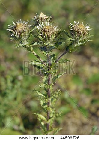 Carline Thistle - Carlina vulgaris Common Calcareous Grassland Flower