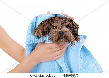 Mistress drying her dog with towel on white background