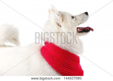 Fluffy samoyed dog wearing red scarf isolated on white