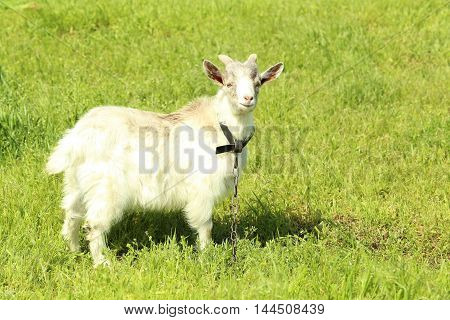Goat on the green meadow close up