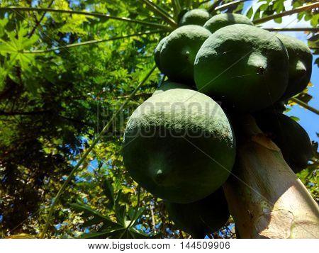 grennty papaya in the morning good fruit