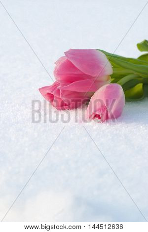 Beautiful pale pink tulips on the white snow. Suitable for postcards and greeting the Mother's Day Spring holidays Valentine's Day