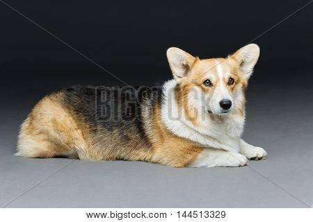 Beautiful welsh pembroke corgi dog lying over black background. Copy space.