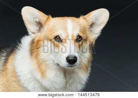 Beautiful welsh pembroke corgi dog over black background. Close up portrait. Copy space.