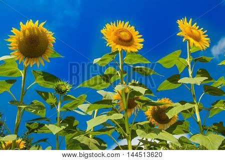 Beautiful yellow sunflowers on the blue sky