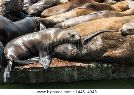 Sea lions at the pier in San Francisco, California