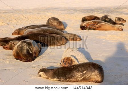 Sea lions relaxing at the end of the day in soft sunset light on Cerro Brujo beach, San Cristobal island, Galapagos