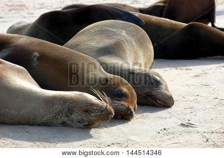 Gourp of sea lions up-close on Galapagos beach,sunbathing