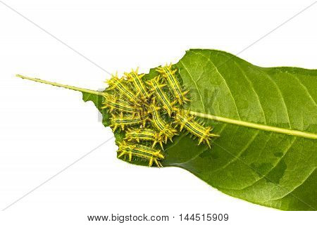 Group of hairy caterpillar is going to eat fresh and green mango leave