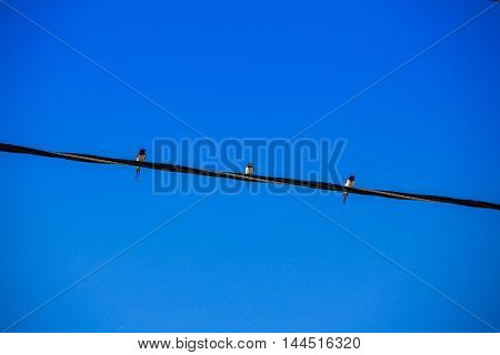Three swallows sitting in a row on the wire