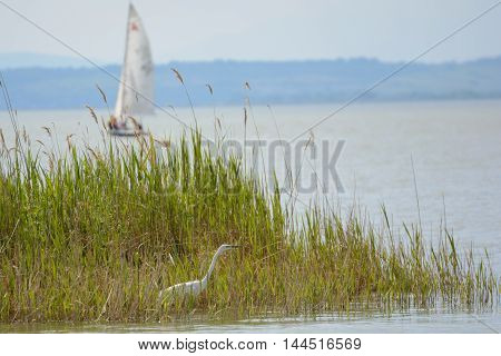 Ciconiiformes Heron in reed beds of Lake Neusiedl and sailboat - Austria
