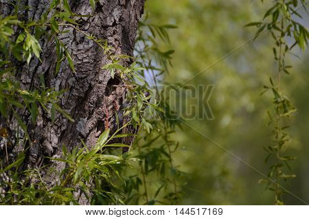 Bird Star feeding young in tree nest with worm