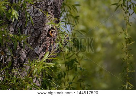 Bird Star feeding young in nest in tree