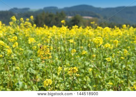 Field mustard, blurred background. Growing crops. Growing vegetables for sale.