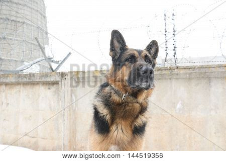 German Shepherd Dog Is Guarding An Important Object In Winter