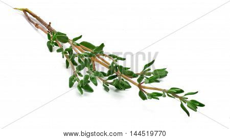 Little branch or fresh mother-of-thyme isolated over white background
