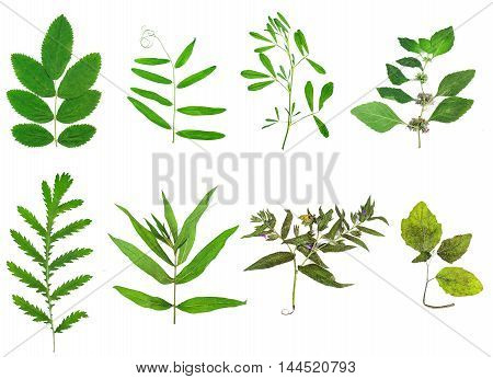 Set of leaves and plants isolated on white background. Herbarium