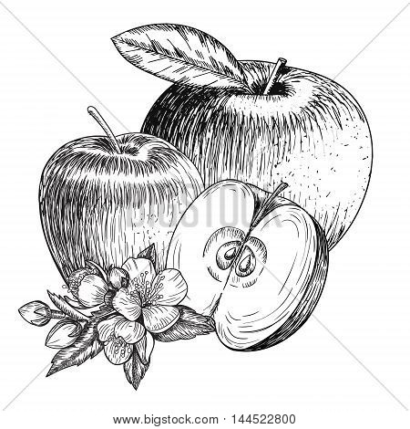 Set of hand drawn apple. Vintage sketch style illustration. Organic eco food. Whole , sliced pieces half, leaves and flowers leave sketch. Fruit engraved style illustration.