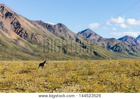 a barren ground caribou bull in velvet in an alaskan landscape