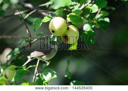Female Eurasian blackcap (Sylvia atricapilla) at apple tree. Moscow region Russia