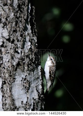 Eurasian or common treecreeper (Certhia familiaris) climbs up the birch trunk. Moscow region Russia