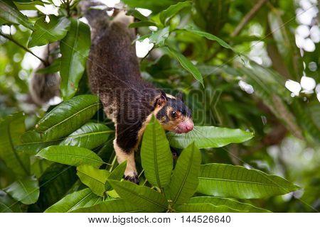 Giant Squirrel in natural habitat at Sri Lanka