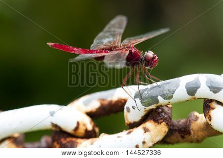 Male Common Scarlet (Crocothemis servilia) dragonfly on rusted chain