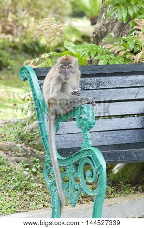 Long tailed macaque monkey is sitting on a bench in park Singapore