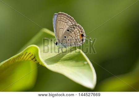 Cycad blue (Chilades pandava) butterfly on a leaf