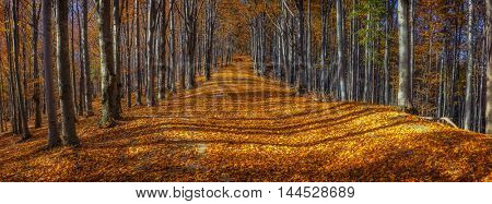Wide alley with colorful autumnal beech trees in the Beskidy Mountains in Poland.