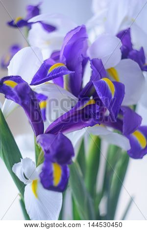 the buds of white and blue irises