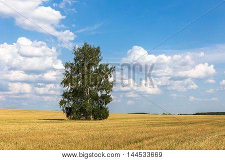 Lonely birch in a field, beautiful landscape