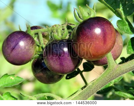 Brown tomatoes ripen in High Park of Toronto CanadaAugust 23 2016
