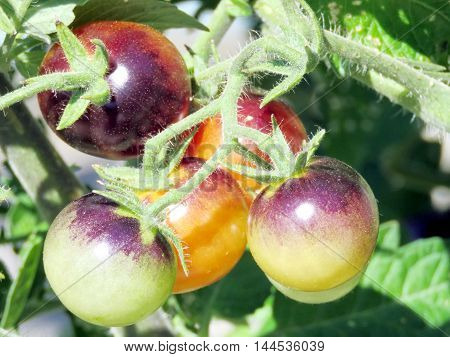 Tomatoes ripen in High Park of Toronto CanadaAugust 23 2016