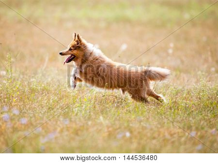 a shetland sheepdog runs on a field
