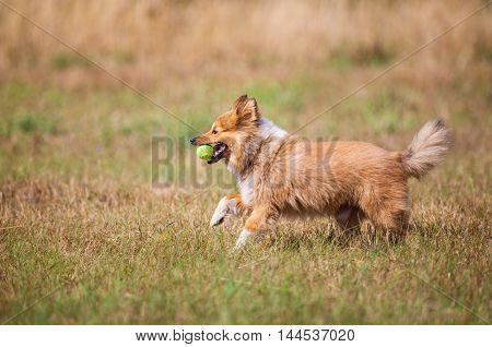 a running shetland sheepdog with a ball