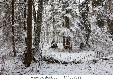 Snowy coniferous stand spruce mainly with snow wrapped branches, Bialowieza Forest, Poland, Europe