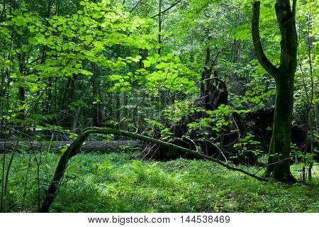 Shady deciduous stand in summer noon with broken tree, Bialowieza Forest, Poland, Europe