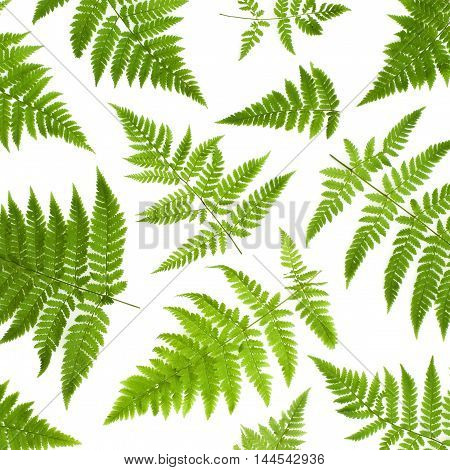 Isolated ornament of green fern leaves on a white background
