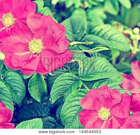 summer landscape with colorful bright flowers of rose hips