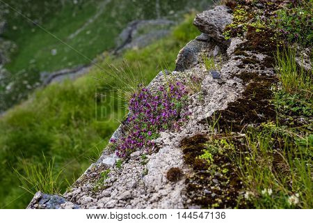 Plant on the rock next to Transfagarasan Road in southern section of Carpathian Mountains in Romania