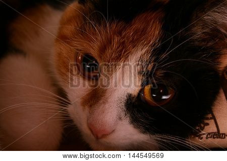 calico cat with big eyes lies and looks