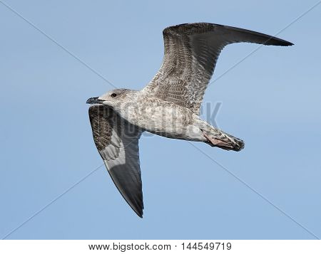 Juvenile Great black-backed gull (Larus marinus) in flight with blue skies in the background
