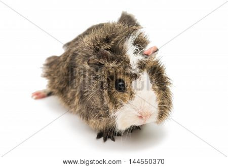 guinea small pig on a white background