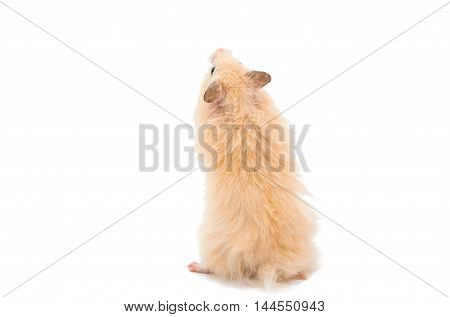 hamster brown animal on a white background