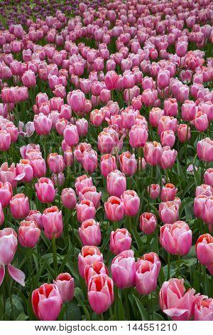 flowers tulips growing in the park growing flowers